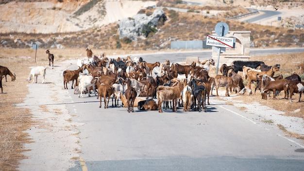 Droga zablokowana przez kozy domowe na obszarach wiejskich cypru, selektywne skupienie