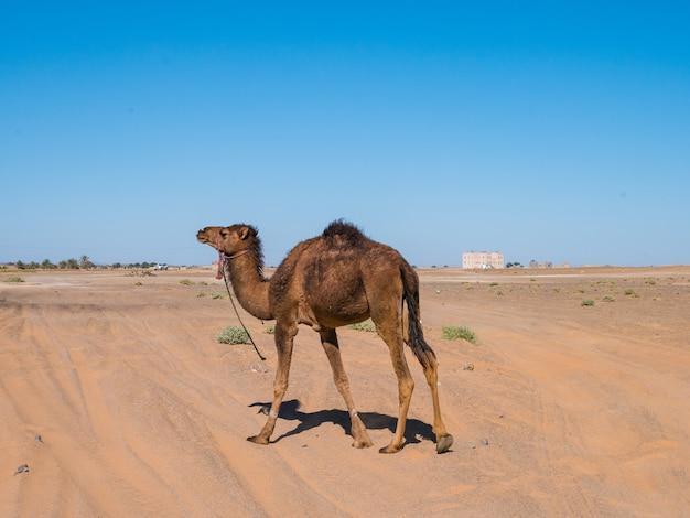 Dromader (wielbłąd arabski) wędruje po saharze w maroku