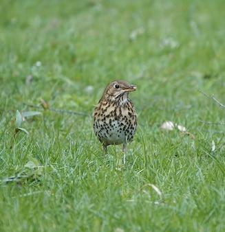 Drozd śpiewak stojący na polu trawy z okrągłymi nasionami w pysku