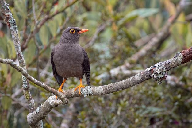 Drozd (turdus fuscater) przysiadł spokojnie na gałęzi drzewa, patrząc w prawo
