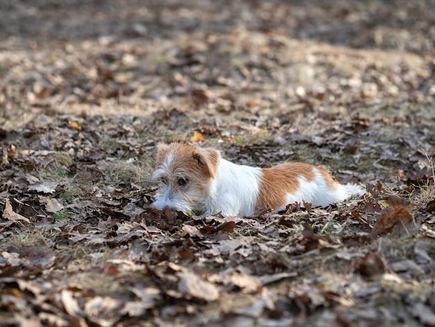 Drutowłosy szczeniak jack russell terrier leży w trawie