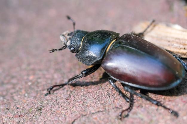 Drwal chrząszcz duży owad czarno-brązowy kolor makro fotografia z bliska