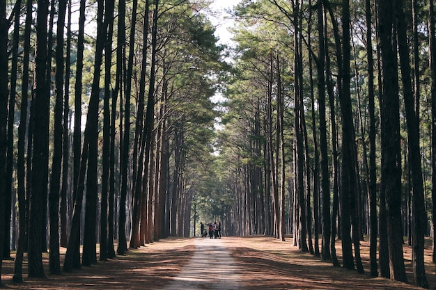 Drzew leśnych drzew pod? wietlany przez z? ote? wiat? os? oneczne przed zachodem s? o? ca z promieniami s? o? ca odlewania poprzez drzewa na pod? odze lasu o? wietlaj? c? ilustracje stylu efektów specjalnych.
