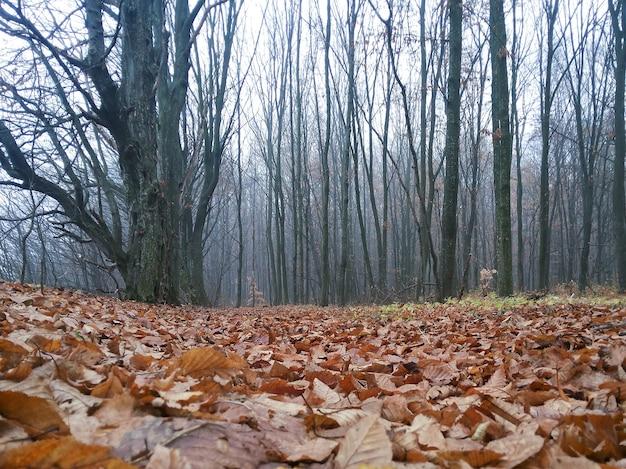 Drzewa bez liści w ponurym jesiennym lesie, cała ziemia pokryta suchymi liśćmi. to paskudny dzień