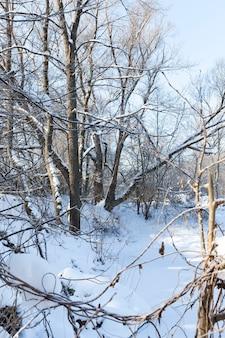 Drzewa bez liści zimą