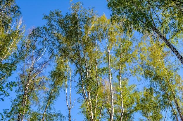 Drzewa brzozy. niebieskie niebo. widok z dołu.