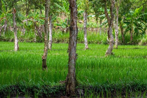 Drzewa cajuput (melaleuca cajuputi) na polu ryżowym, w regionie gunung kidul, yogyakarta, indonezja