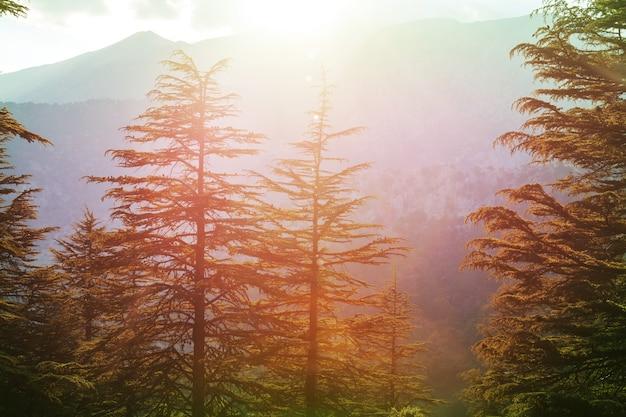 Drzewa cedrowe w górach, turcja