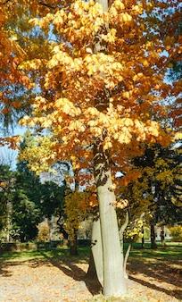 Drzewa dębu z czerwonymi liśćmi w jesiennym parku miejskim.