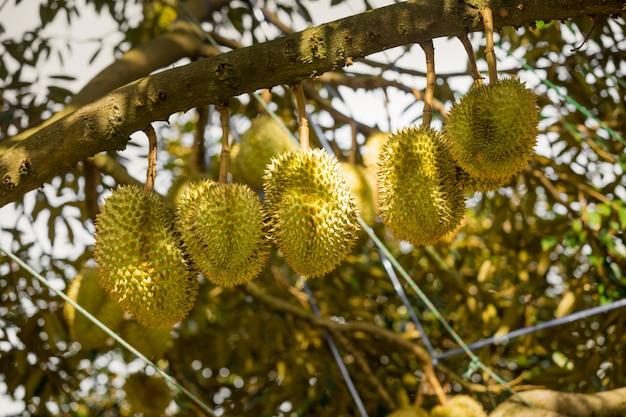 Drzewa durian z tropikalnymi owocami w samui