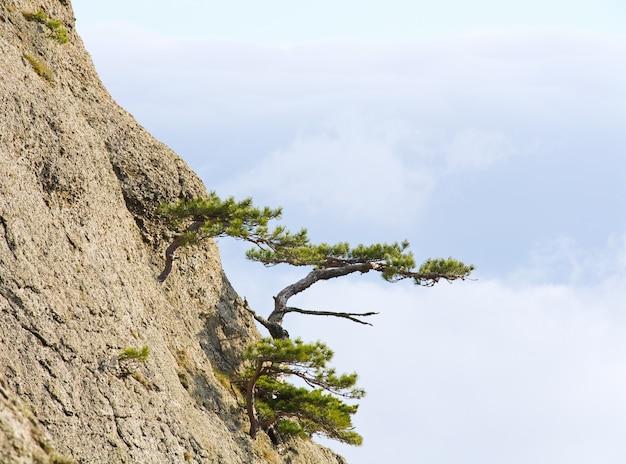 Drzewa iglaste na zboczu skał (mglisty dzień) (góra demerdzhi, krym, ukraina)