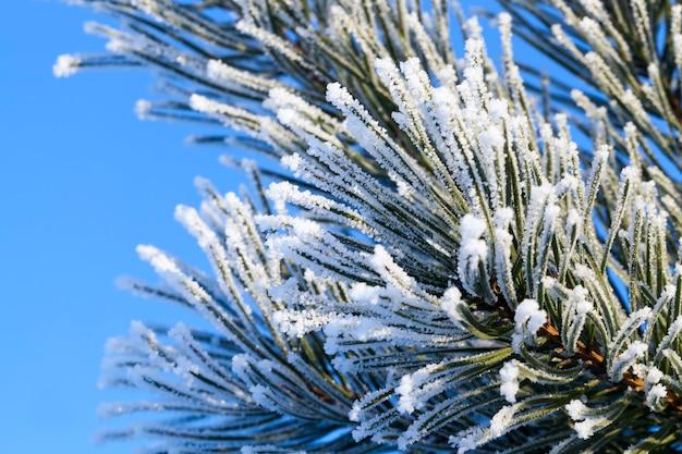 Drzewa iglaste w sezonie zimowym, sezon zimowy ze śniegiem w parku
