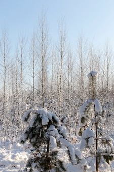 Drzewa iglaste zimą