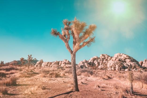 Drzewa jozuego w parku narodowym joshua tree w kalifornii