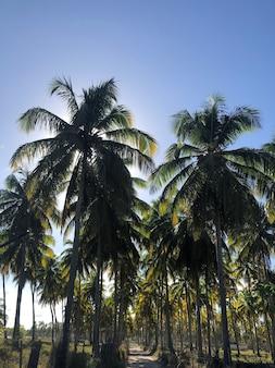 Drzewa kokosowe i błękitne niebo