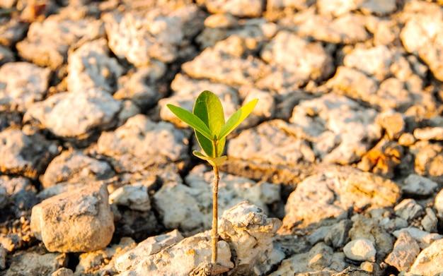 Drzewa, które naturalnie rosną na suchych glebach, z powodu zmieniającego się efektu przyrody