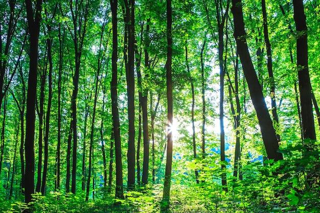 Drzewa leśne. natura zielone światło słoneczne drewna tła