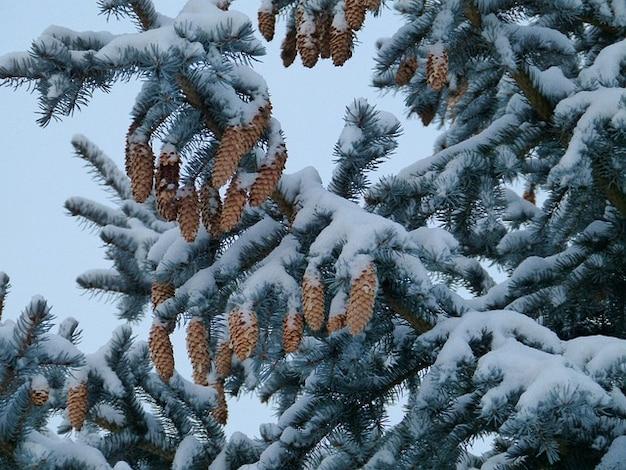 Drzewa leśne szyszki zima, śnieg, sosna, jodła, stuknij