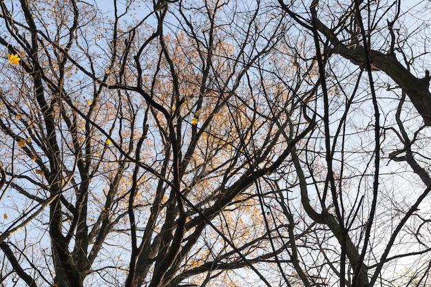 Drzewa liściaste bez liści w połowie jesieni, zbliżenie pnia i gałęzi,