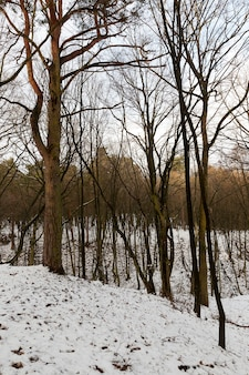 Drzewa liściaste bez liści zimą. na ziemi występują zaspy śnieżne po opadach śniegu