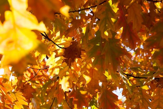Drzewa liściaste dąb w lesie lub w parku jesienią opadanie liści, dąb ze zmieniającym się czerwieniejącym liściem
