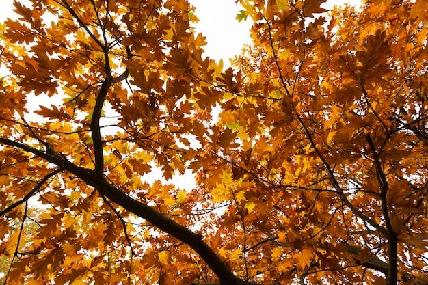 Drzewa liściaste dąb w lesie lub w parku jesienią opadanie liści, dąb ze zmieniającym się zaczerwienieniem liści z bliska, piękna przyroda z dzikim dębem