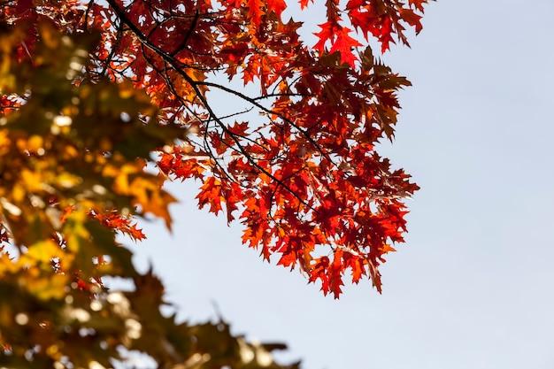 Drzewa liściaste dąb w lesie lub w parku jesienią opadanie liści