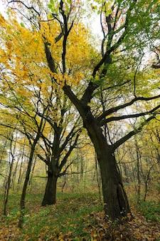 Drzewa liściaste, klony, dęby i inne, krzewy rosnące w jesiennym lesie, część liści drzew spadła na ziemię, zmieniła scenę na żółtą