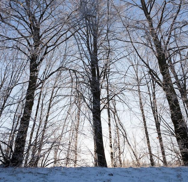 Drzewa liściaste w sezonie zimowym w lesie. po śniegu na tle błękitnego nieba przy słonecznej pogodzie