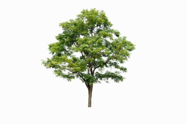 Drzewa na białym tle, drzewa tropikalne izolowane używane do architektury