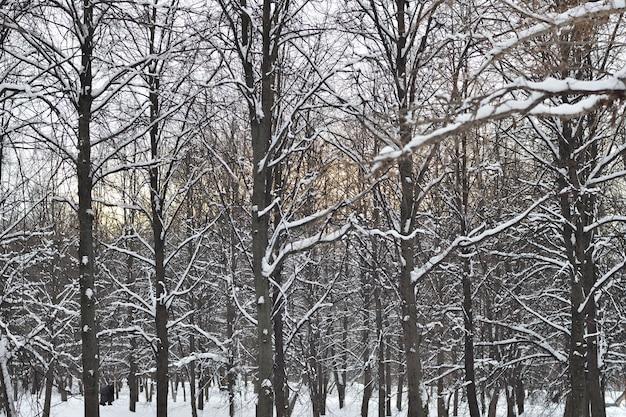 Drzewa na śniegu w lesie zimą o zachodzie słońca, park zimowy w śniegu