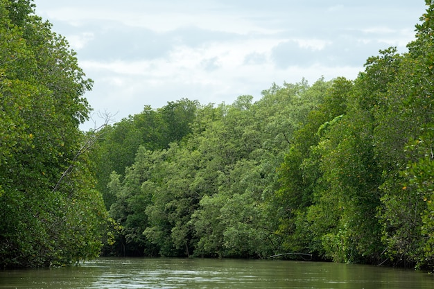 Drzewa namorzynowe i lasy namorzynowe chanthaburi tajlandia