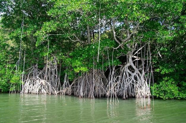 Drzewa namorzynowe na morzu karaibskim