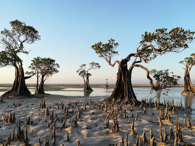 Drzewa namorzynowe na plaży