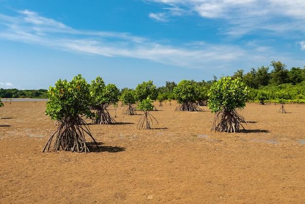 Drzewa namorzynowe podczas odpływu pokazujące swoje korzenie na suchych piaskach