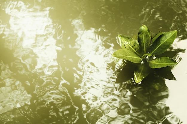 Drzewa namorzynowe (rhizophora mucronata) z rozmytymi cieniami na gładkiej pomarszczonej wodzie, selektywne ustawianie ostrości.