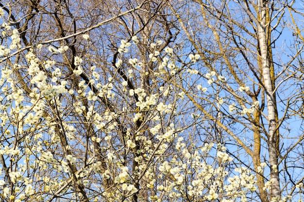 Drzewa o białych kwiatach z przyszłym plonem owoców w porze wiosennej roku, zbliżenie w sadzie