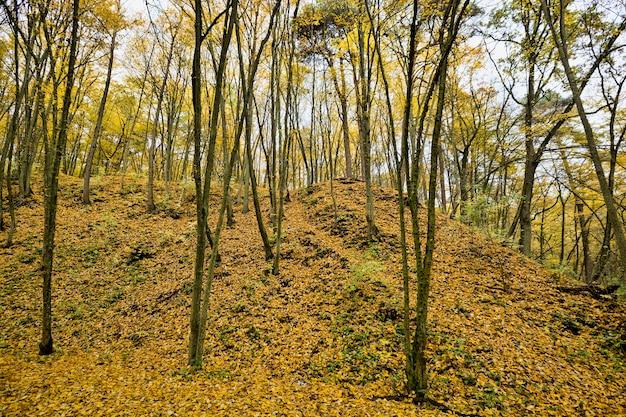Drzewa o żółtych liściach na pagórkowatym terenie, jesienny krajobraz