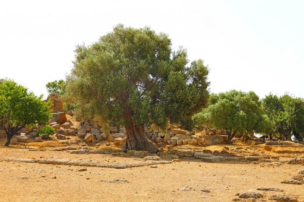 Drzewa oliwne i czerwona ziemia na sycylii we włoszech