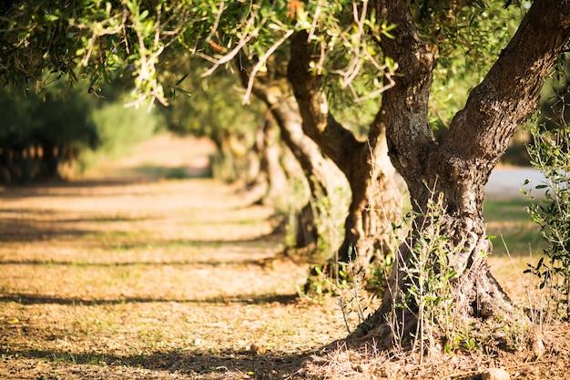 Drzewa oliwne na tło zamazane pole. drzewa oliwne na gaju w salento, puglia, włochy