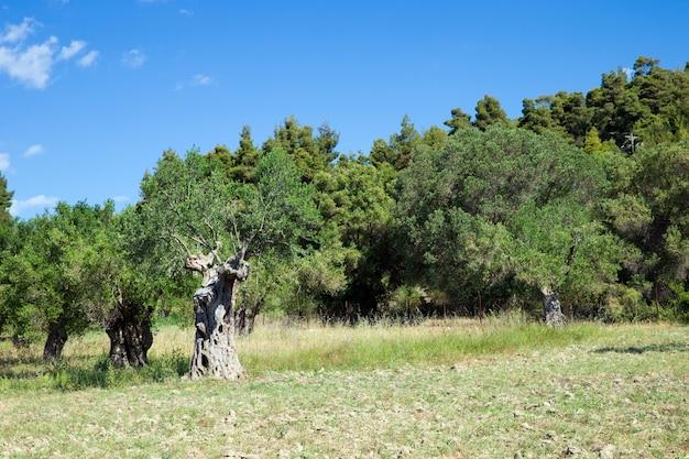 Drzewa oliwne na zboczu wzgórza