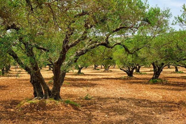 Drzewa oliwne olea europaea na greckiej krecie do produkcji oliwy z oliwek