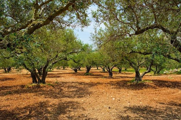 Drzewa oliwne olea europaea na krecie grecja do produkcji oliwy z oliwek