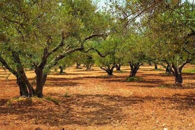 Drzewa oliwne olea europaea na krecie w grecji do produkcji oliwy z oliwek