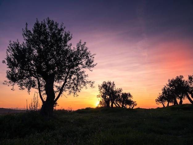 Drzewa Oliwne. Plantacja Drzew Oliwnych O Zachodzie Słońca. śródziemnomorski Premium Zdjęcia