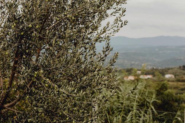 Drzewa oliwne w przyrodzie