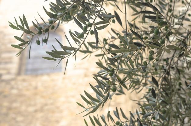 Drzewa oliwne
