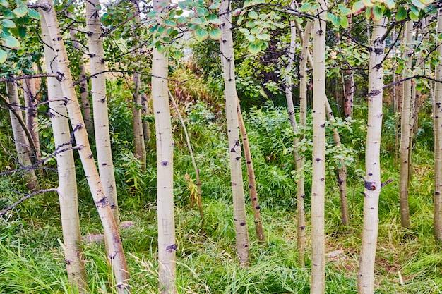 Drzewa osiki rosnące w leśnym krajobrazie