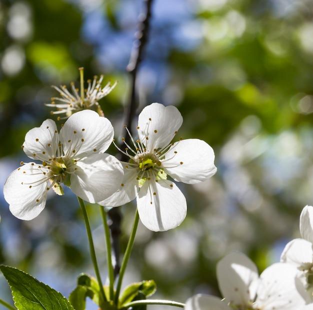 Drzewa owocowe w pełnym rozkwicie wiosną w ogrodzie, zbliżenie i szczegóły kwitnących roślin