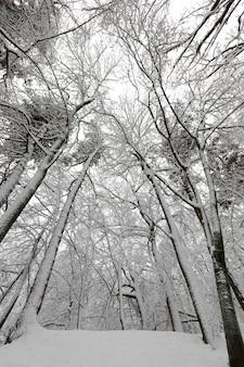 Drzewa pokryte są śniegiem